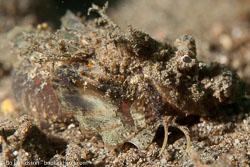 BD-151226-Dauin-0612-Scorpaenopsis-possi.-Randall---Eschmeyer.-2001-(Poss's-scorpionfish].jpg